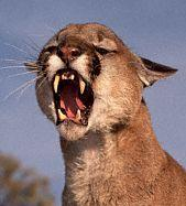 snarlingmountainlion2.jpg